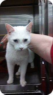 Domestic Shorthair Cat for adoption in Alexis, North Carolina - Cotton