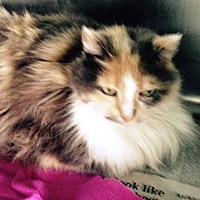 Maine Coon Cat for adoption in Germantown, Maryland - Rosemary