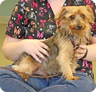 Yorkie, Yorkshire Terrier Mix Dog for adoption in Harrisonburg, Virginia - Paddington