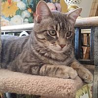 Domestic Mediumhair Cat for adoption in San Fernando Valley, California - Obi Wan Kanobi