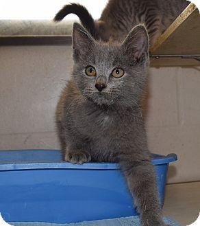 Domestic Shorthair Kitten for adoption in Bucyrus, Ohio - Sierra Mist