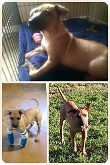 Shar Pei Mix Puppy for adoption in GRANBURY, Texas - Delilah
