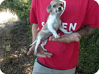 Pomeranian/Chihuahua Mix Puppy for adoption in Santee, California - Peaches