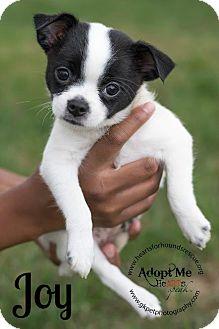 Shih Tzu/Chihuahua Mix Puppy for adoption in Virginia Beach, Virginia - Joy