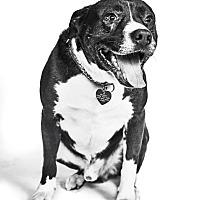Labrador Retriever/Pit Bull Terrier Mix Dog for adoption in Van Nuys, California - Keegan