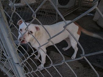 Labrador Retriever/Pit Bull Terrier Mix Dog for adoption in Lancaster, California - Rohna