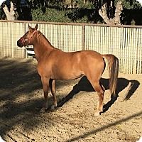 Adopt A Pet :: Paisley - El Dorado Hills, CA