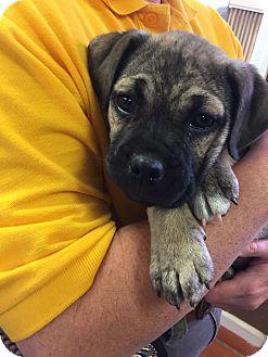 Pug/Boxer Mix Puppy for adoption in Sturbridge, Massachusetts - Farrah