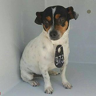 Toy Fox Terrier/Rat Terrier Mix Dog for adoption in West Warwick, Rhode Island - Bob
