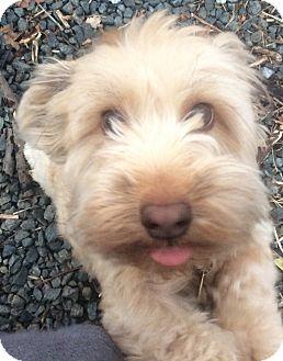 Dachshund/Cockapoo Mix Dog for adoption in Oak Ridge, New Jersey - Biggie