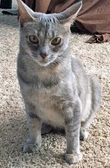Domestic Shorthair/Domestic Shorthair Mix Cat for adoption in Noblesville, Indiana - Eileen