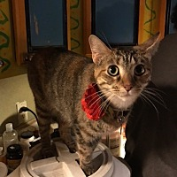 Domestic Shorthair Cat for adoption in Dallas, Texas - Wednesday