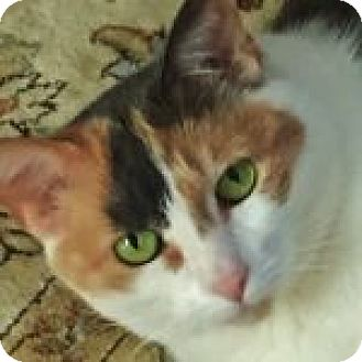 Calico Cat for adoption in Medford, Massachusetts - Charley