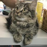 Adopt A Pet :: Tabby - Santa Paula, CA
