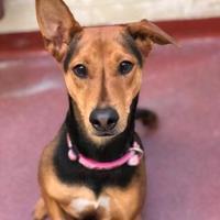 Adopt A Pet :: Zo - Cheyenne, WY