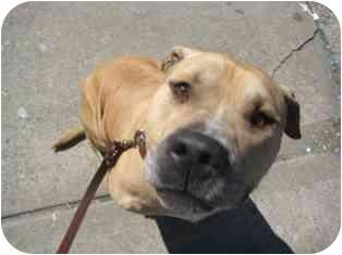Mastiff Mix Dog for adoption in Whitestone, New York - Sargent