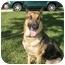 Photo 1 - German Shepherd Dog Dog for adoption in Green Cove Springs, Florida - Cheyenne