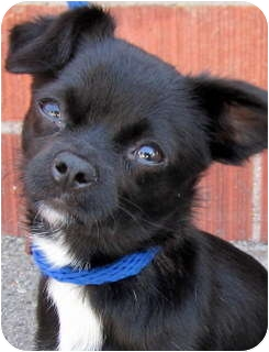 Chihuahua/Japanese Chin Mix Dog for adoption in Los Angeles, California - Gizmo *VIDEO*