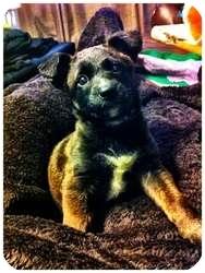 Labrador Retriever Mix Puppy for adoption in Wasilla, Alaska - Coda