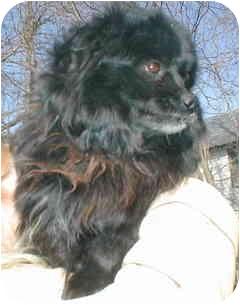 American Eskimo Dog/Pomeranian Mix Dog for adoption in Rockville, Maryland - Cubby