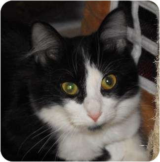 Domestic Longhair Cat for adoption in Byron Center, Michigan - Ivana