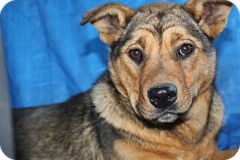 Shepherd (Unknown Type) Mix Puppy for adoption in Spruce Grove, Alberta - Bailey