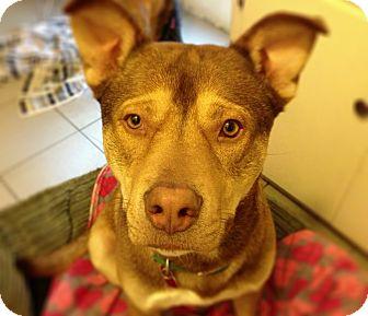 Husky Mix Dog for adoption in Burbank, California - Sir Duke-Sweet Husky Boy!