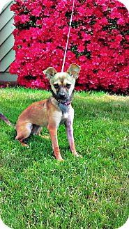 Terrier (Unknown Type, Small)/Chihuahua Mix Puppy for adoption in Gig Harbor, Washington - Daisy *new pics*