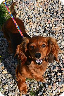 Dachshund Mix Dog for adoption in Fruit Heights, Utah - Lady