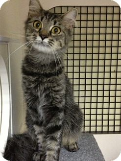 Domestic Mediumhair Cat for adoption in Villa Hills, Kentucky - Maddie @ Petco