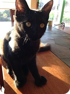 Domestic Mediumhair Kitten for adoption in Encinitas, California - Rafel