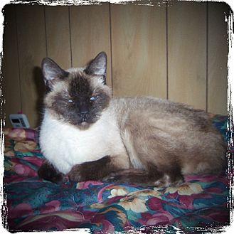 Siamese Cat for adoption in Medford, Wisconsin - BOB