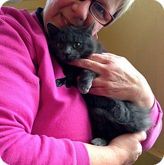 Russian Blue Kitten for adoption in Farmington, Michigan - Ryder: 4 months