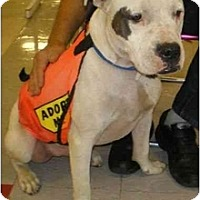 Adopt A Pet :: Brother Bud - Bakersfield, CA
