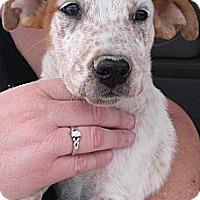 Adopt A Pet :: Finn - Colorado Springs, CO