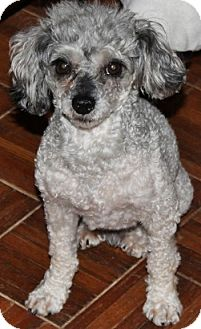 Poodle (Toy or Tea Cup) Dog for adoption in House Springs, Missouri - Scruffy Girard