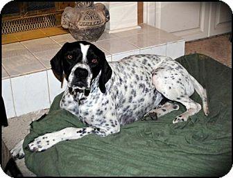 Pointer Dog for adoption in Denton, Texas - Specs