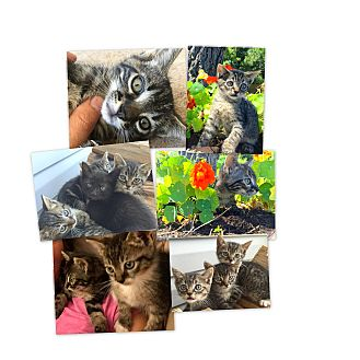 Domestic Shorthair Kitten for adoption in Sneads Ferry, North Carolina - Rowdy,Smudge,Whitepaw, BatGirl