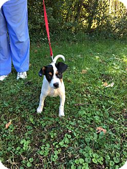 Beagle Mix Puppy for adoption in Albany, New York - Reegal (POM-LR)