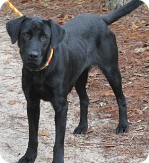 Retriever (Unknown Type) Mix Dog for adoption in Aiken, South Carolina - ADELINE