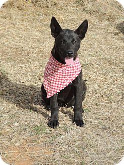 German Shepherd Dog Mix Puppy for adoption in Denver City, Texas - Rachel