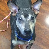 Adopt A Pet :: Blossom - Oak Ridge, NJ