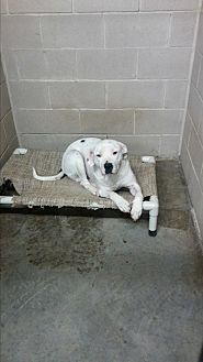 Pit Bull Terrier Mix Dog for adoption in Spring, Texas - Knothead