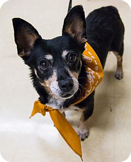 Chihuahua/Australian Cattle Dog Mix Dog for adoption in Grass Valley, California - Minnie