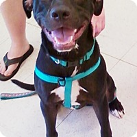 Adopt A Pet :: Daryl - Midlothian, VA