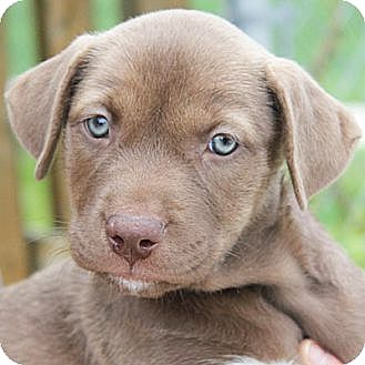 American Staffordshire Terrier/Labrador Retriever Mix Puppy for adoption in Huntley, Illinois - Alexis