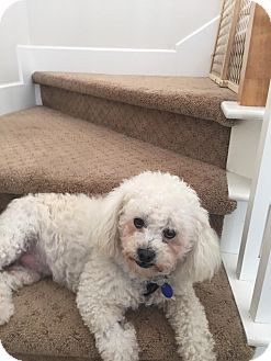 Bichon Frise Dog for adoption in Carlsbad, California - Jacques