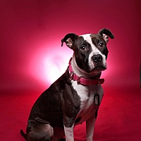 American Staffordshire Terrier Mix Dog for adoption in Jackson, Tennessee - Sookie