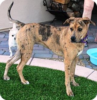 Catahoula Leopard Dog Mix Dog for adoption in Gilbert, Arizona - Lilly
