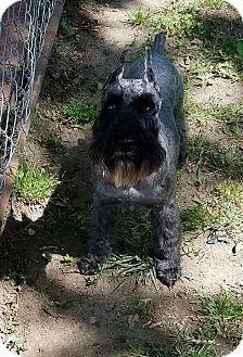 Miniature Schnauzer Dog for adoption in Southeastern, Kansas - Skye-HOME PENDING